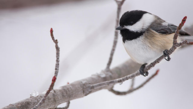 apa_2016_black-capped_chickadee_jeff_okeeffe_kk-high_res-hero